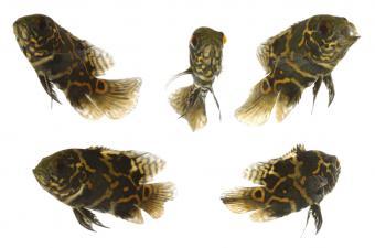 https://cf.ltkcdn.net/small-pets/images/slide/144807-850x563r1-tigeroscarfish.jpg