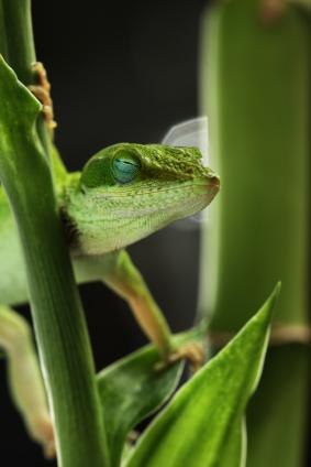 Green Anoles as Pets