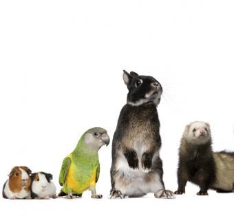 Bunny ferret parrot guinea pigs
