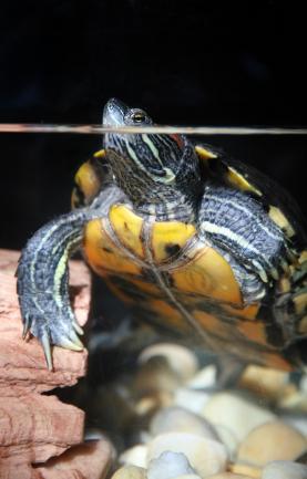 Slider turtle in his tank