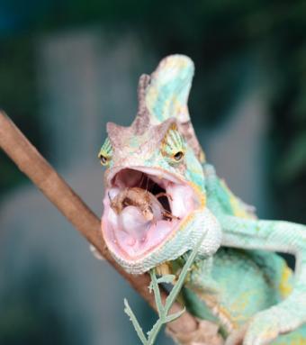 veiled chameleon eating a cricket