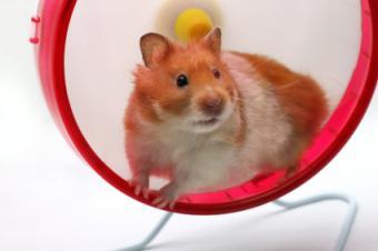 hamster in solid wheel