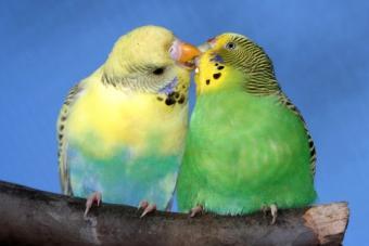 Male parakeet feeding his mate