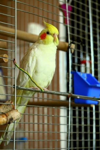 Cockatiel Bird Care