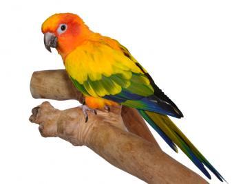 Sun conure on a natural branch perch