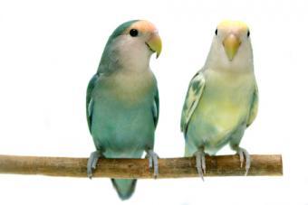 Peachface lovebird pair