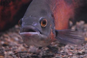 Oscar fish with HITH
