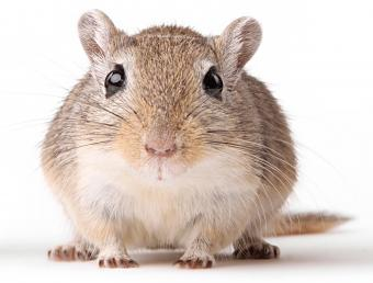 The ever-popular pet gerbil