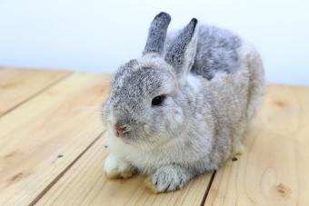 Care of Netherland Dwarf Rabbits