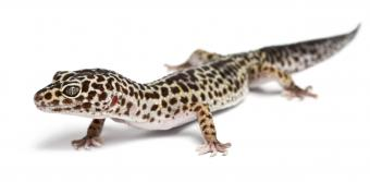 How to Take Care of a Gecko