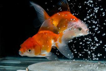 Goldfish Reproduction