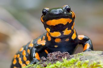 Salamander Diets and Feeding Tips