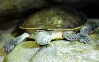 sideneck turtle