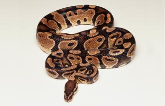Ball Python Facts