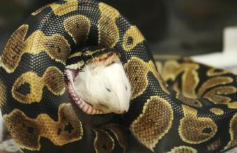 Ball Python Diet