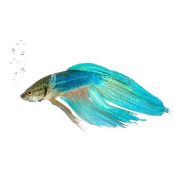 https://cf.ltkcdn.net/small-pets/images/slide/240181-818x818-Blue-Veiltail-Betta-copy.jpg