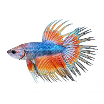 https://cf.ltkcdn.net/small-pets/images/slide/240199-844x845-Orange-and-blue-Crowntail-Betta.jpg