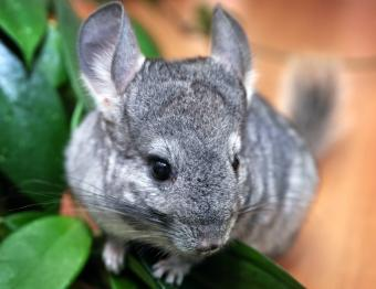How to Care for Chinchillas