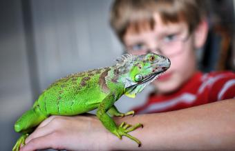 Iguana on young boy arm