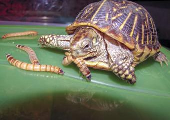 Diet for Feeding Your Box Turtle