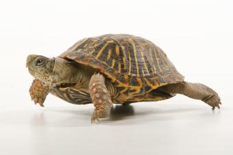 Care of Box Turtles