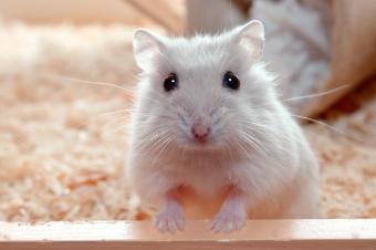 Basics of Hamster Care