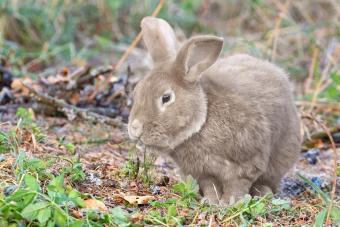 German Giant Rabbits