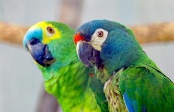 Pet Parrot Care