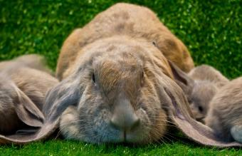 English Lop Rabbit