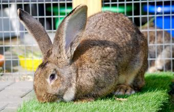 Flemish rabbit eating grass
