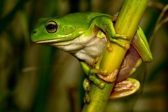 Green Tree Frog Habitats