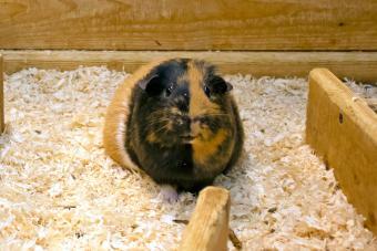 Comfy and Safe Guinea Pig Bedding Ideas