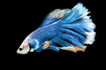 Blue fish swimming