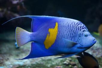 Yellowband angelfish
