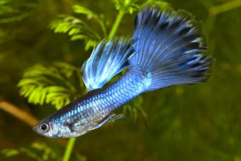 Raising and Showing Show Guppies