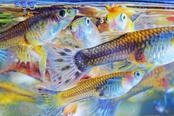 School of guppy fish