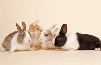 Four Dutch rabbits