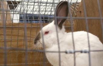 Caged Himalayan rabbit
