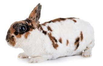miniature Rex rabbit