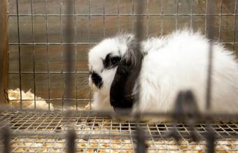 American Fuzzy Lop rabbit