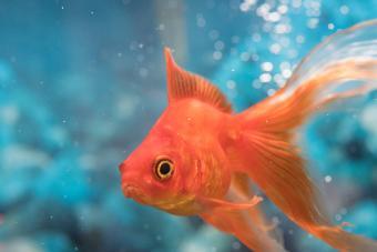 Common Goldfish Colors