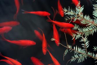 Red goldfish swimming