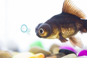 Telescopic bronze colored goldfish