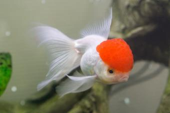 Tancho goldfish with red cap