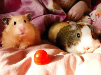 Hamster and guinea pig