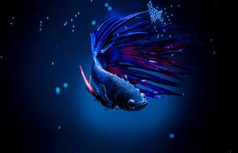 Betta Fish as Pets: What to Know About This Underwater Beauty