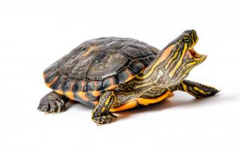 Turtle with smaller legs and lighter shell