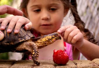 Box turtle being fed strawberry by little girl