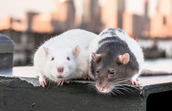 315 Pet Rat Names