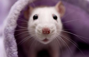Cute white rat